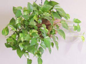 装飾向け観葉植物_1