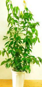 シナモンの木