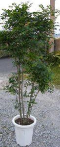 トネリコの木