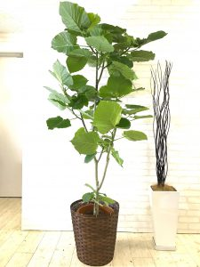 観葉植物_ウンベラータ_1