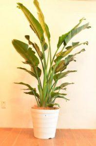オーガスタ_観葉植物設置事例