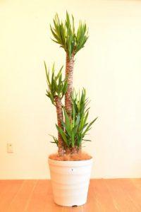 ユッカ_観葉植物設置事例