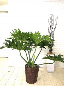 観葉植物_8号_セロウム_8号