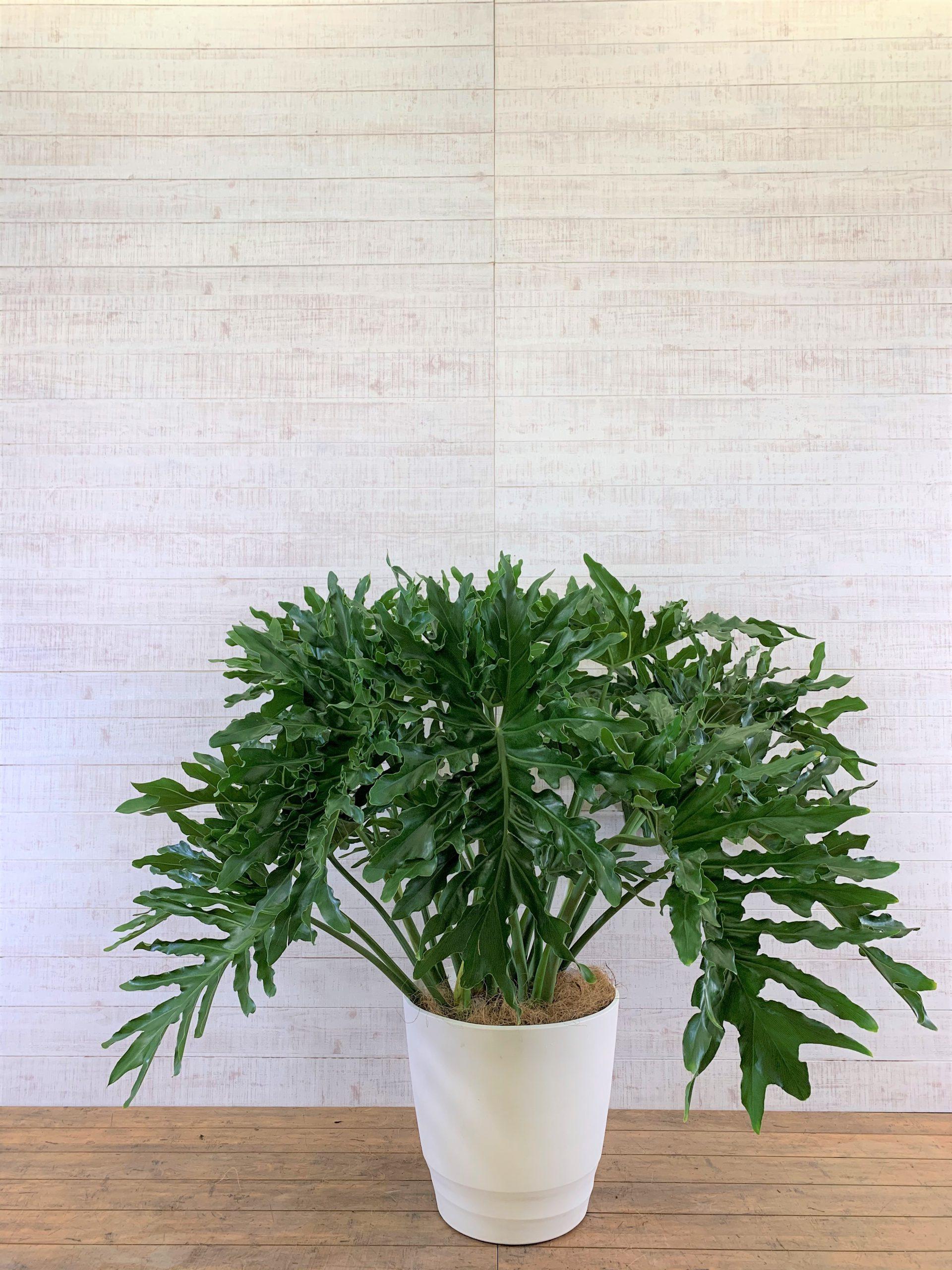 観葉植物_フィロデンドロン・セローム_大鉢(尺鉢/10号)