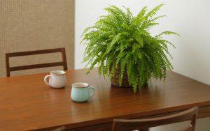 個人宅のレンタル観葉植物_3_タマシダ
