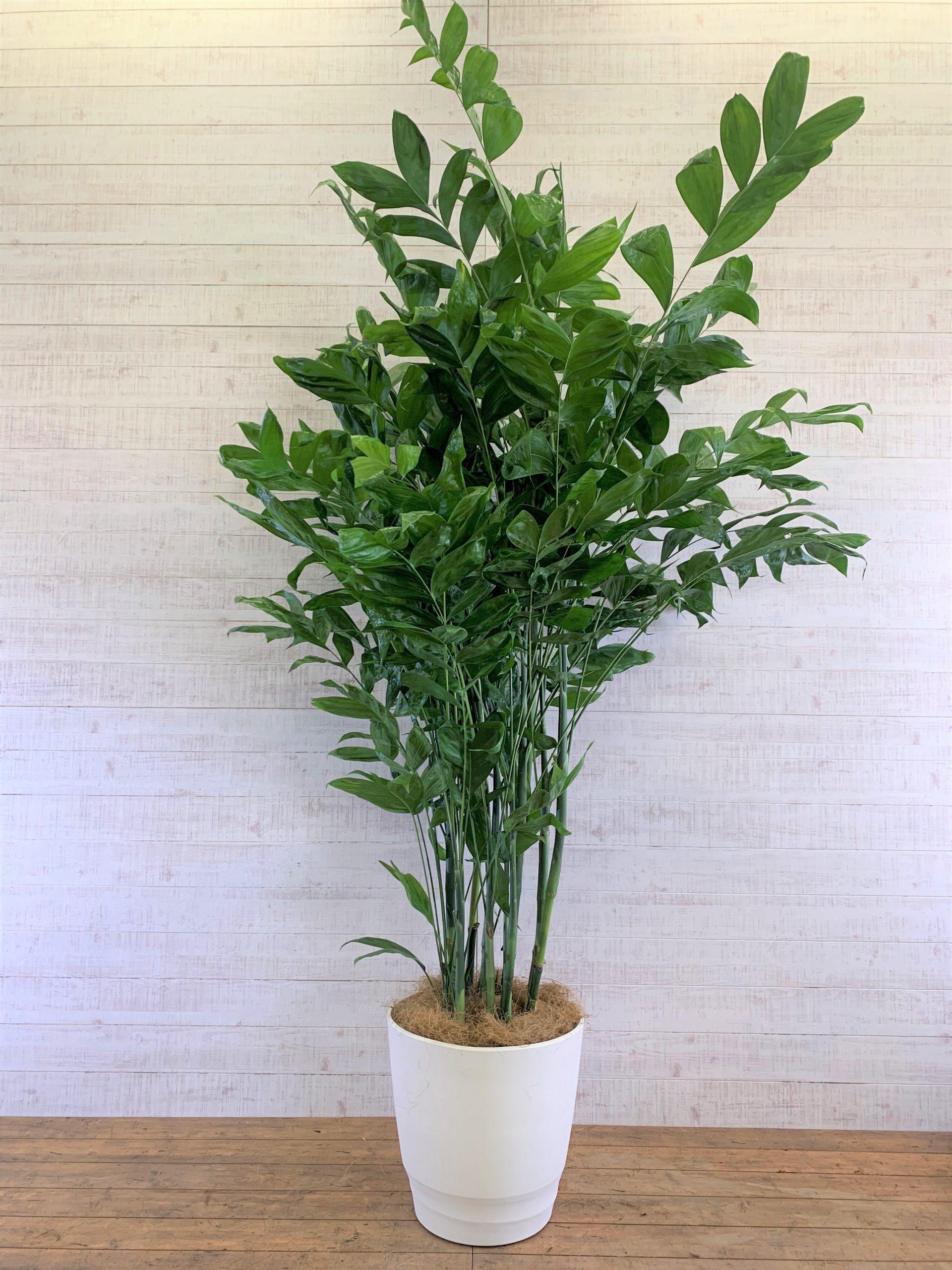 観葉植物_コーセーチャメドレア(高性チャメドレア)_大鉢(尺鉢/10号)