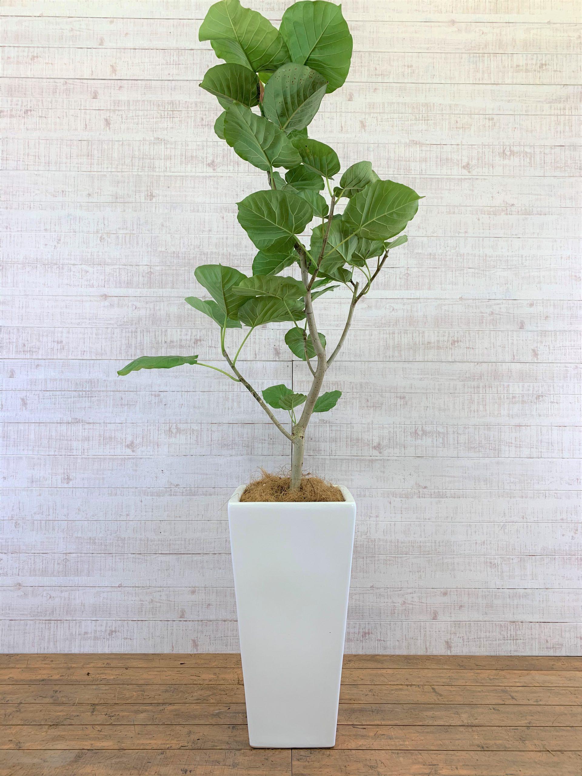 観葉植物_フィカス・ウンベラータ_中鉢(8号)