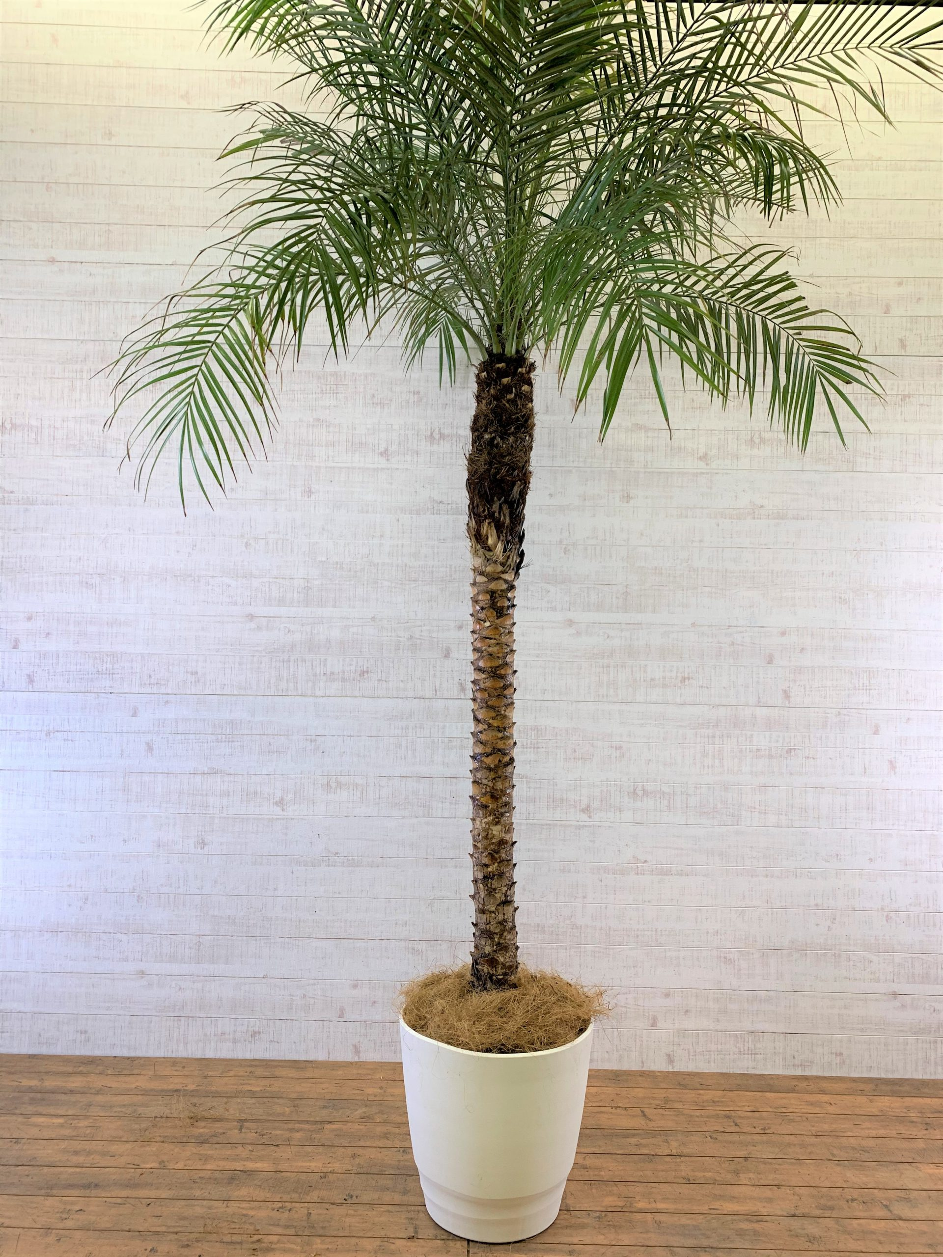 観葉植物_フェニックス・ロベレニー_大鉢(尺鉢/10号)