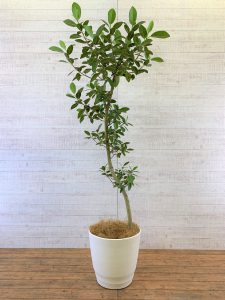 観葉植物_フランスゴムの木(フィカス・ルビギノーサ)_大鉢(尺鉢/10号)
