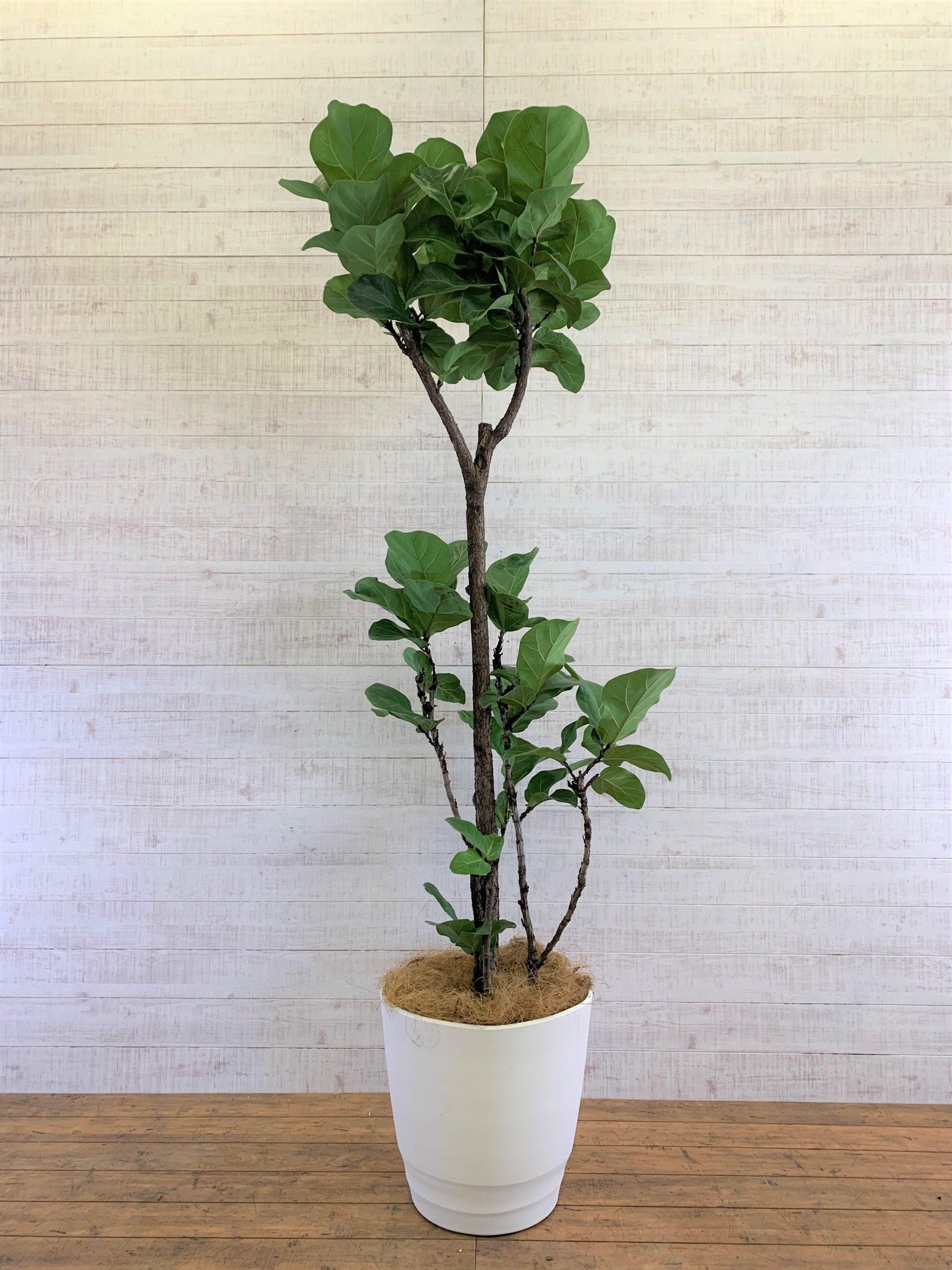 観葉植物_フィカス・リラータ(カシワバゴム・バンビーノ)_大鉢(尺鉢/10号)