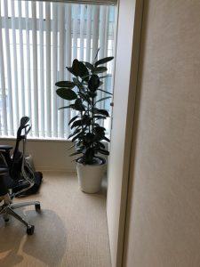 神奈川のレンタル観葉植物_4_クリニックのゴムノキ
