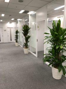 オフィスのレンタル観葉植物_7_ヒロバ/アカドラセナとストリクタ