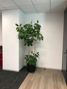 オフィスのレンタル観葉植物_1_ブラッサイア