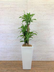 観葉植物_ドラセナ・フレグランス(マッサンゲアナ)_中鉢(8号)
