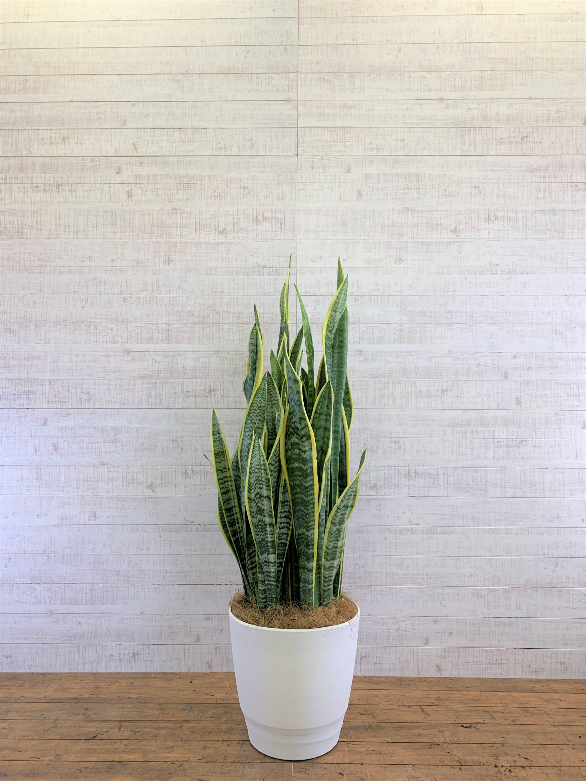 観葉植物_サンセベリア・ローレンチー_大鉢(尺鉢/10号)