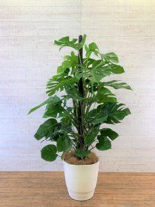 観葉植物_モンステラ(へご)_大鉢(尺鉢/10号)