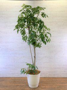 観葉植物_ホンコンカポック(シェフレラホンコン)_大鉢(尺鉢/10号)