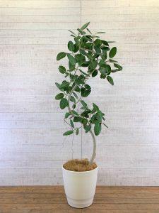 観葉植物_フィカス・ベンガレンシス(ベンガルゴムの木)_大鉢(尺鉢/10号)