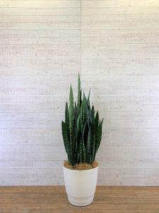 観葉植物_サンセベリアゼラニカ_大鉢(尺鉢/10号)