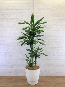 観葉植物_ドラセナ・ジェレ_大鉢(尺鉢/10号)