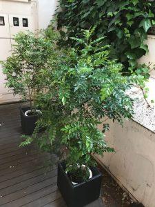城東エリアのレンタル観葉植物_1_サロンのシマトネリコ