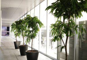 沖縄のレンタル観葉植物_3_廊下のアムステルダムキング