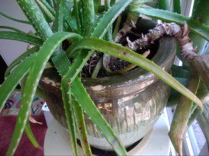 植物の根詰まり_みんなのみどり