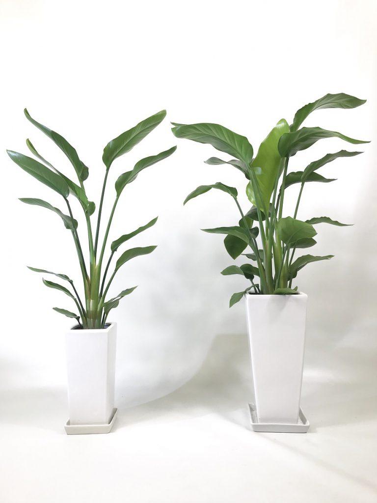販売用植物_サイズ比較_オーガスタ
