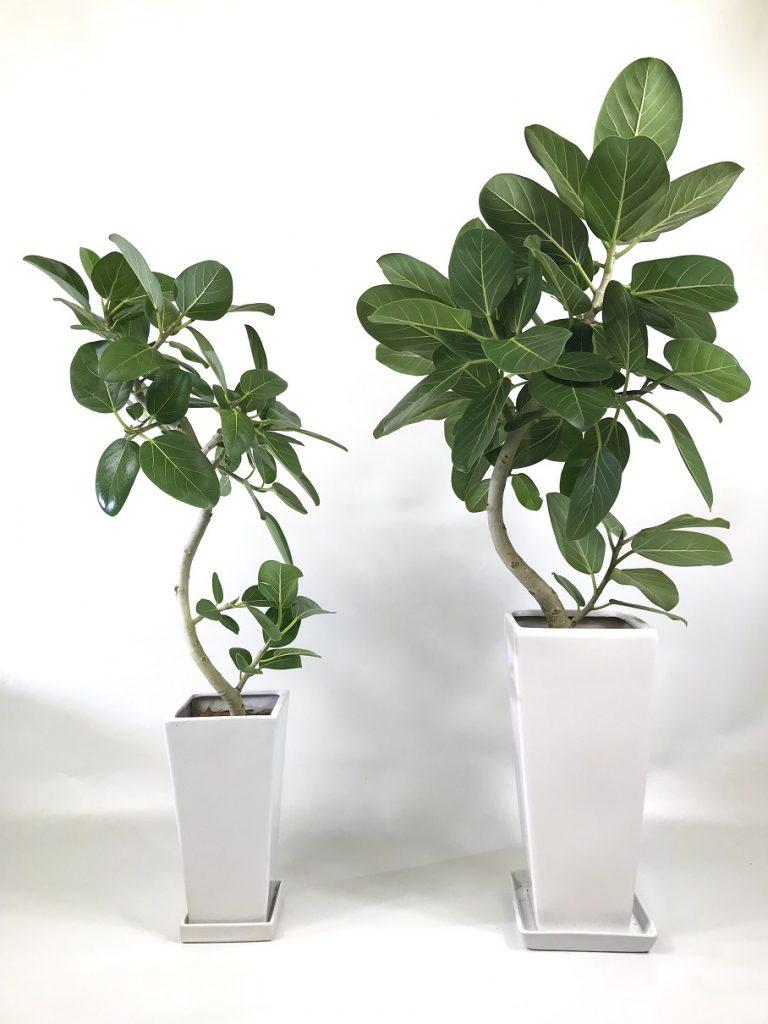 販売用植物_サイズ比較_ベンガレンシス