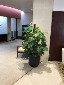 横浜のレンタル観葉植物_4_介護施設のモンステラ