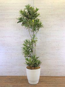 観葉植物_ドラセナ・ソングオブインディア_大鉢(尺鉢/10号)